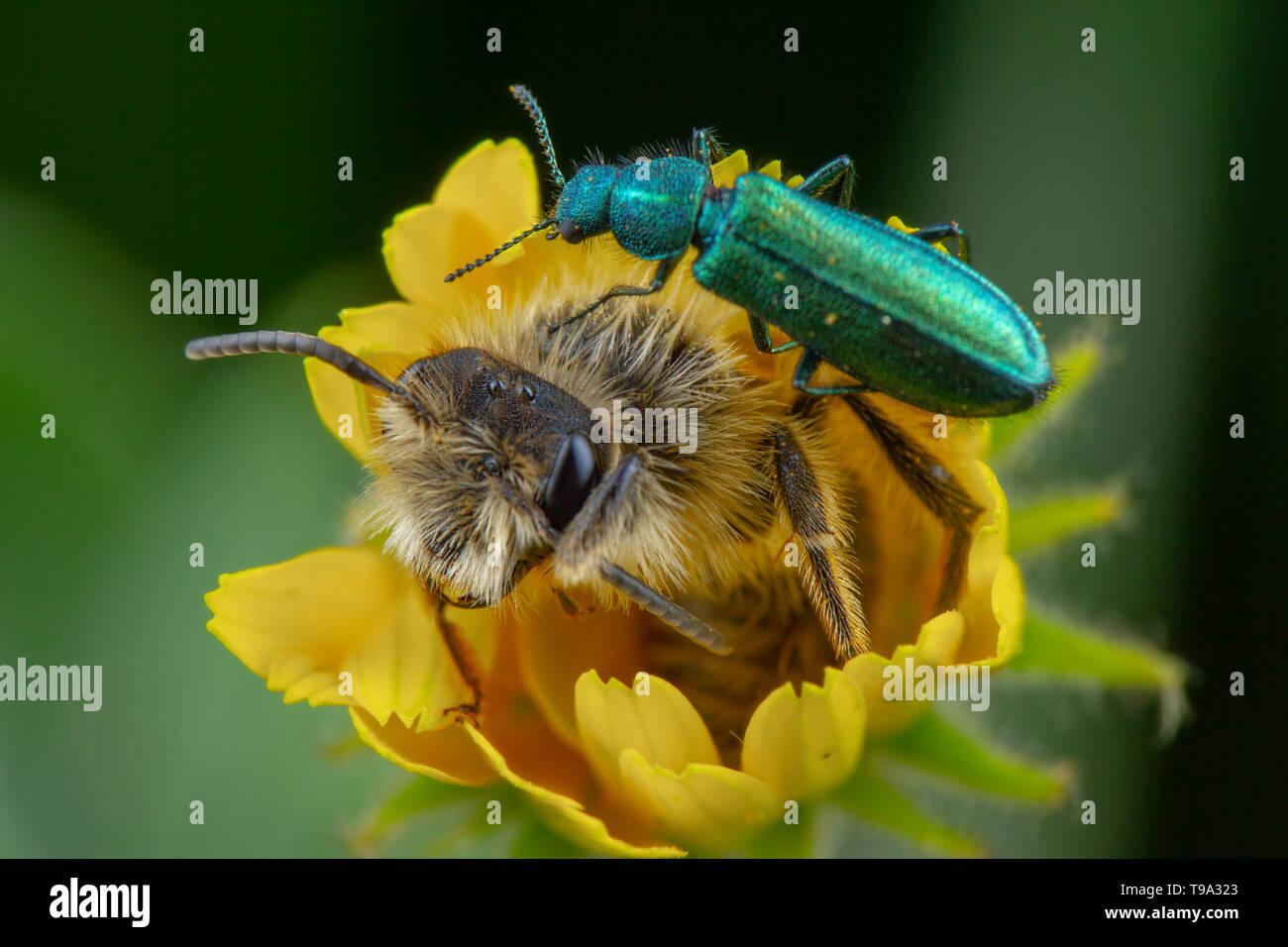 Little oedemera nobilis walking on flower with honeybee in it - Stock Image