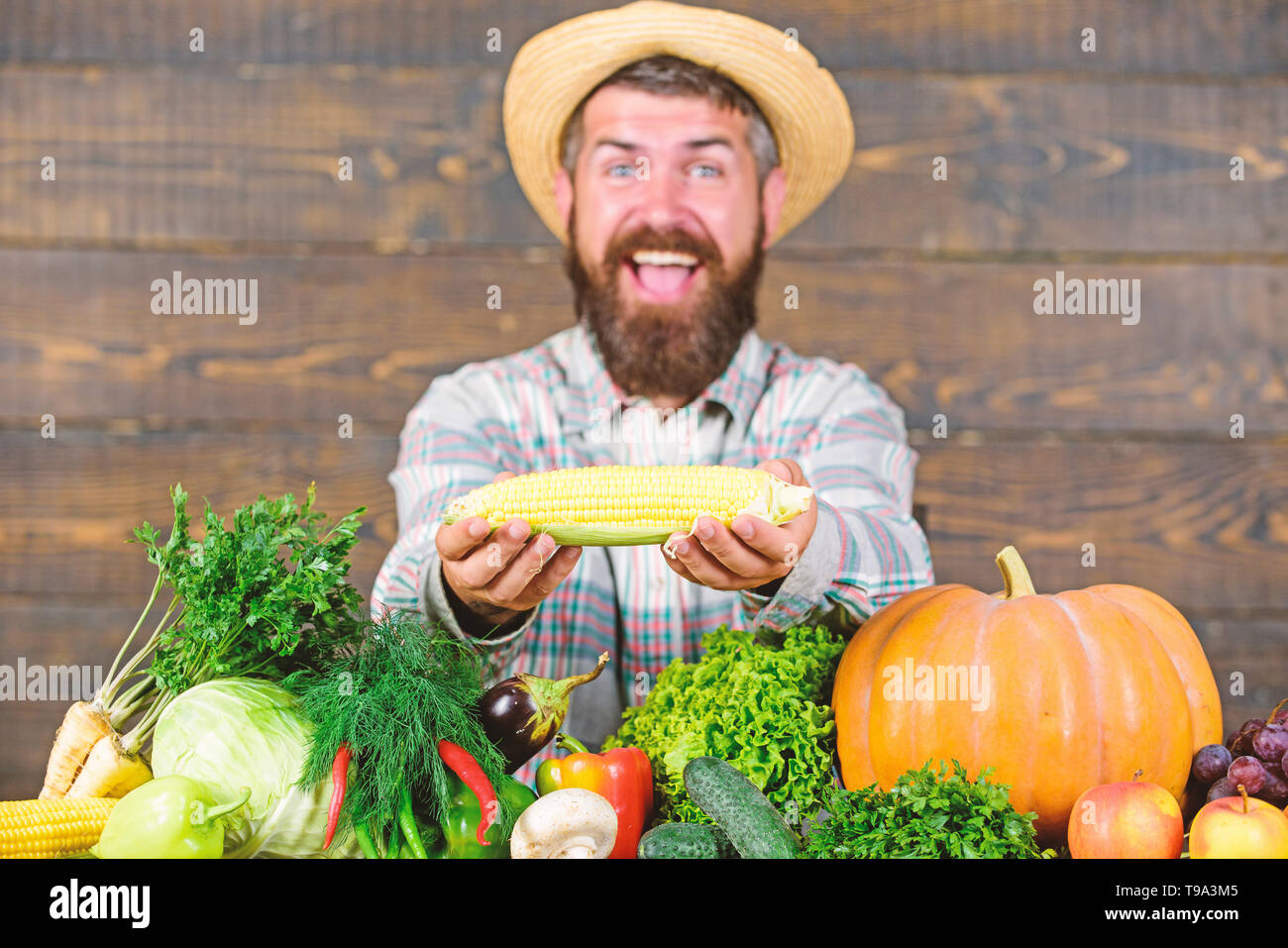 Grow organic crops. Community gardens and farms. Healthy lifestyle. Farmer hold corncob or maize wooden background. Farmer presenting organic homegrown vegetables. Homegrown organic harvest benefits. - Stock Image