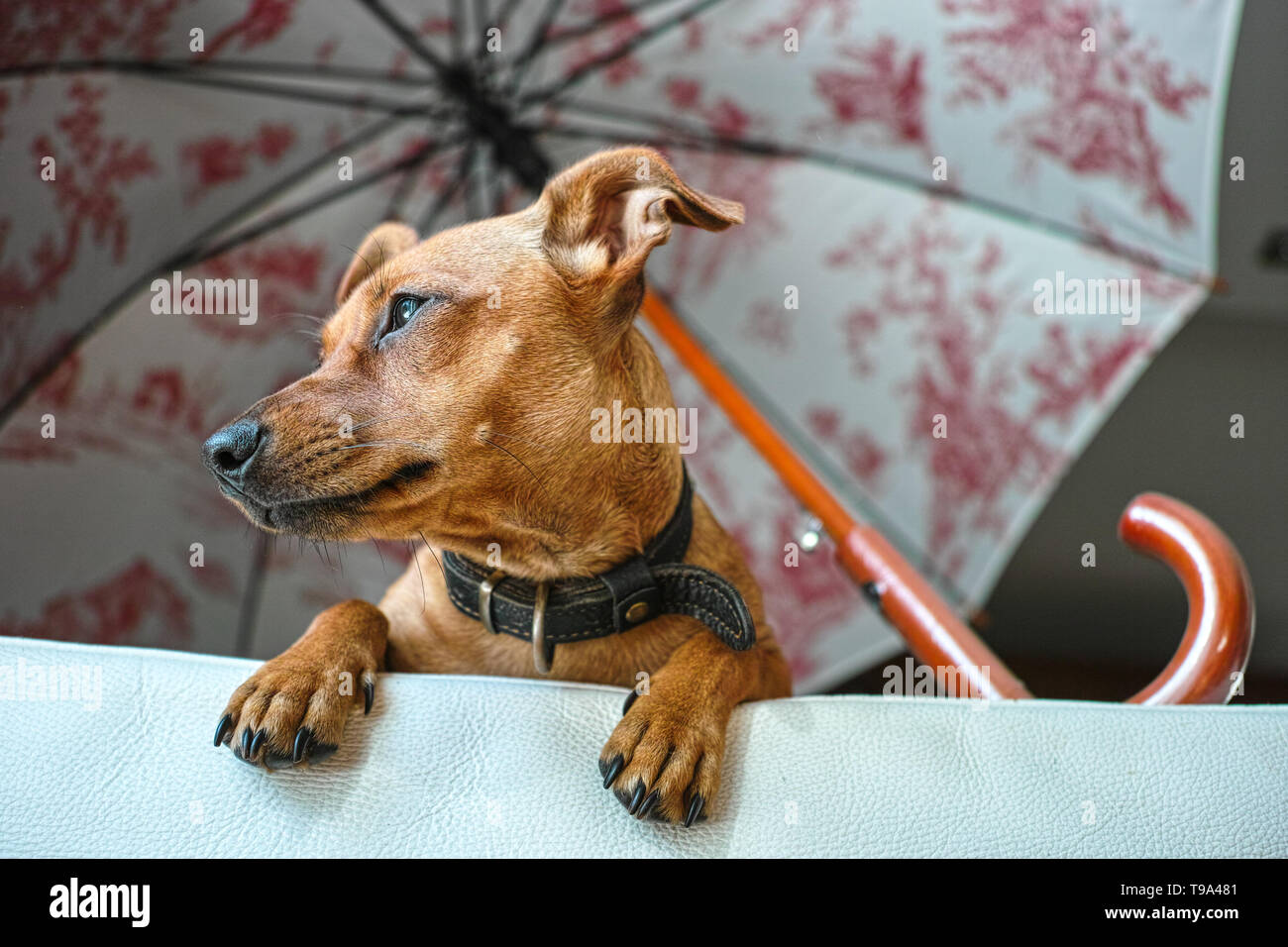 Miniature Pinscher dog waiting her owner on the sofa, viewed from below - Stock Image