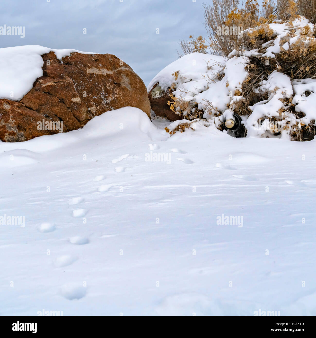 Square Animal tracks on snow covered ground viewed on a frosty winter day - Stock Image