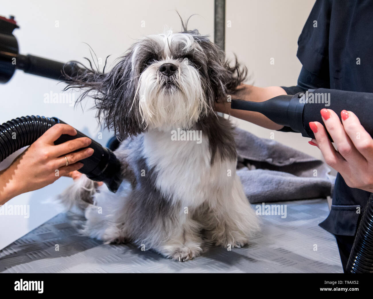 "Hamburg, Germany. 14th May, 2019. The Havaneser-Malteser-Shitzu-Mix Louis is blow-dried in a branch of the dog salon chain ""Doging Station"". For many years, the pet industry has been posting steadily rising sales. (to dpa ""The business with Bello - Two women smell the big business"") Credit: Daniel Bockwoldt/dpa/Alamy Live News Stock Photo"