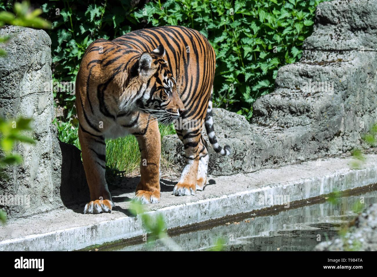 Sumatran tiger (Panthera tigris sondaica) native to Sumatra, Indonesia - Stock Image