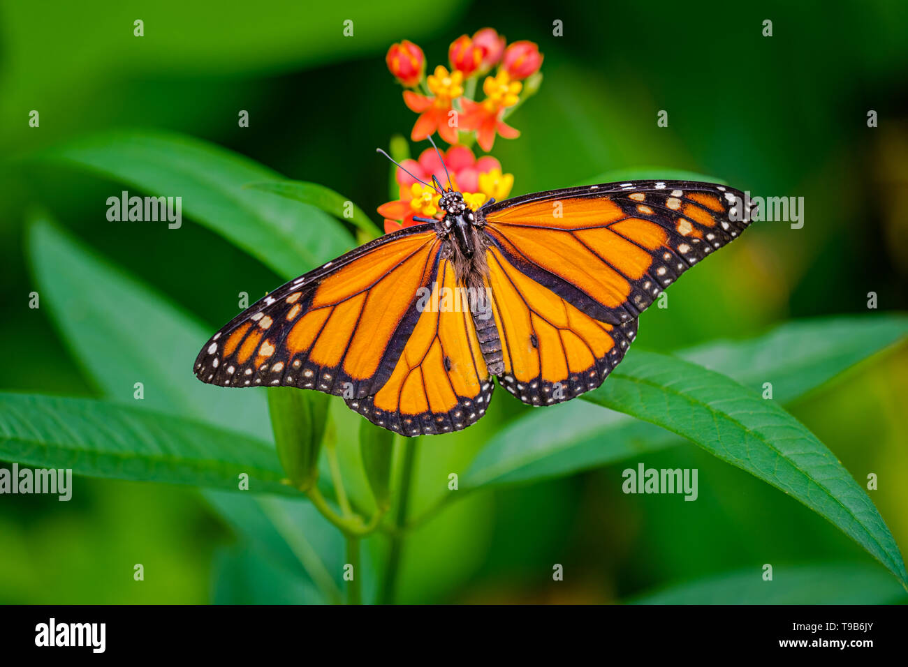 Beautiful monarch butterfly, danaus plexippus, with wings spread wide on a red flower with green bokeh leaves  background - Stock Image