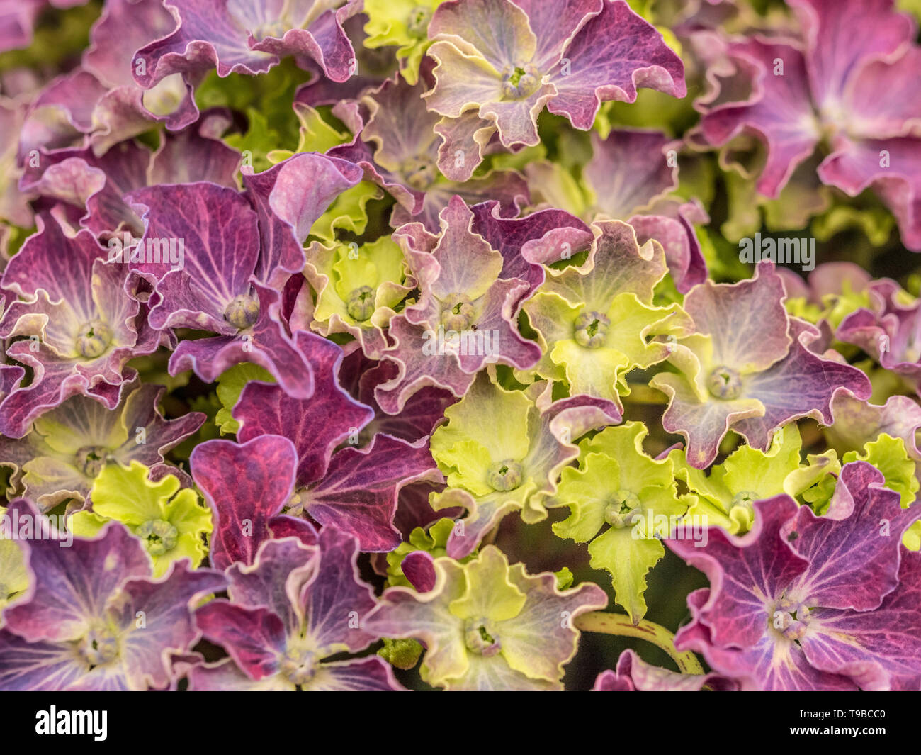 Hydrangea Macrophylla Curly Sparkle Purple - Stock Image