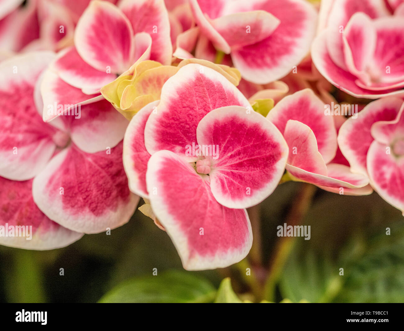 Hydrangea Macrophylla Red Ace Stock Photo