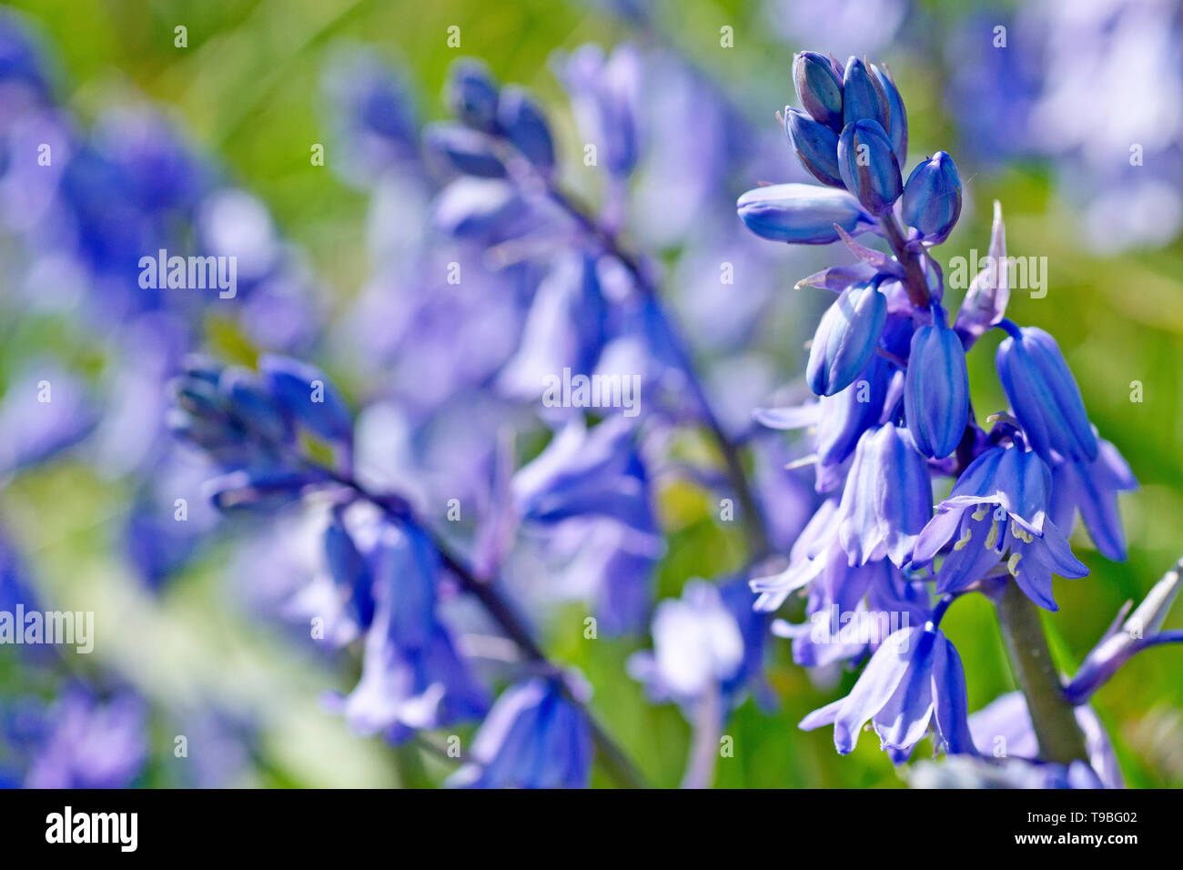 Bluebell (hyacinthoides non-scripta, also endymion non-scriptus), close up of a flower stalk growing amongst others. - Stock Image
