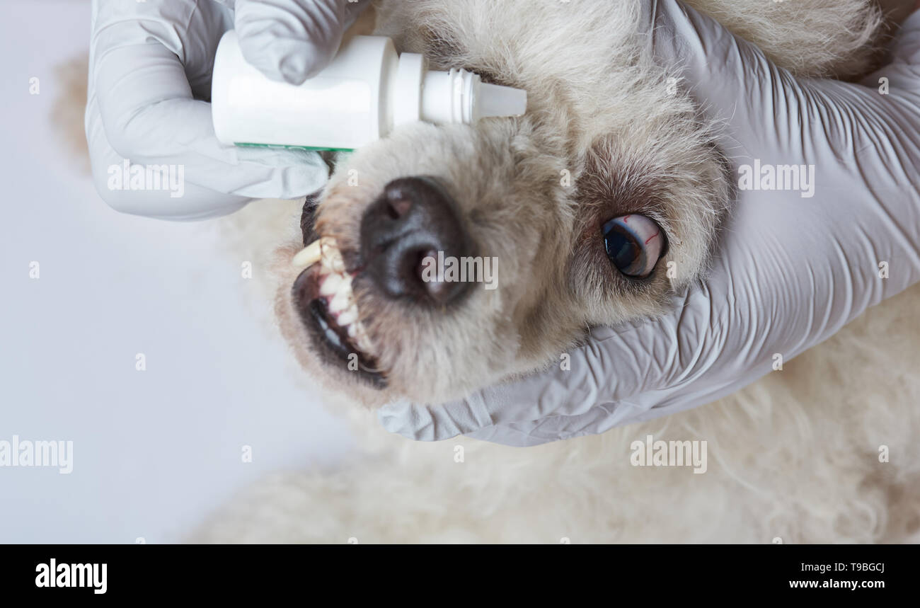 Healing dog eye with drops. Dripping vet eye drops in dog - Stock Image