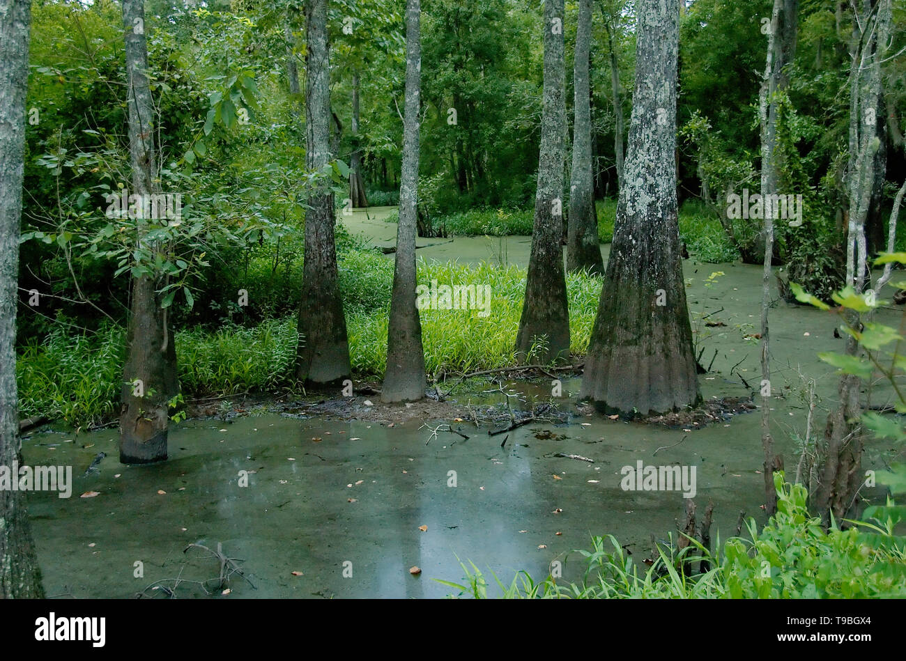 A swamp at Tickfaw State Park, located 7 mi (11 km) west of Springfield, in Livingston Parish, Louisiana, USA. - Stock Image