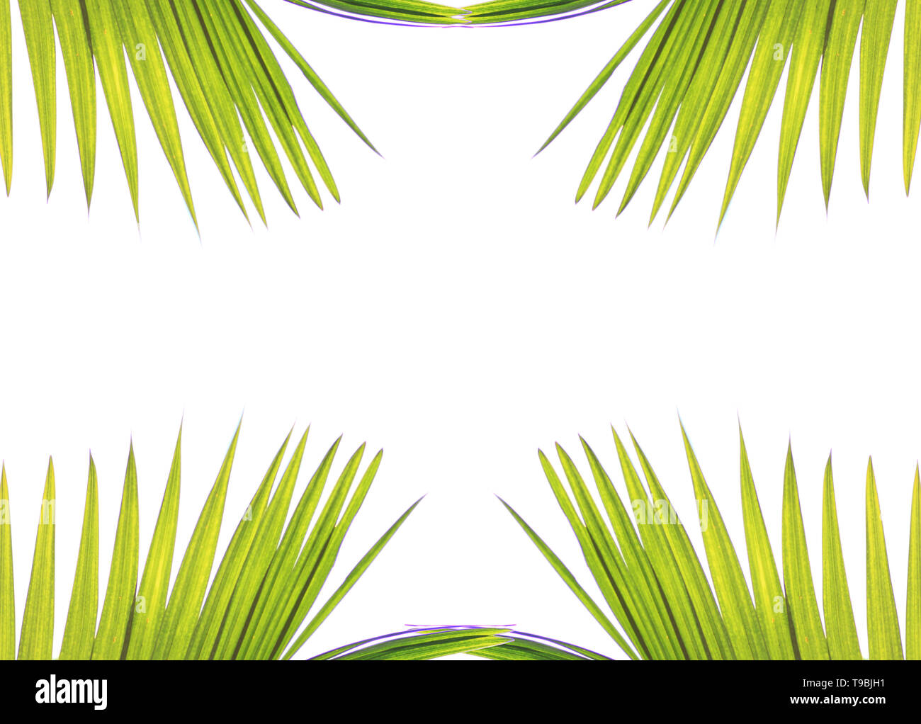 Green leaves of palm trees isolated on a white background and with spaces Stock Photo