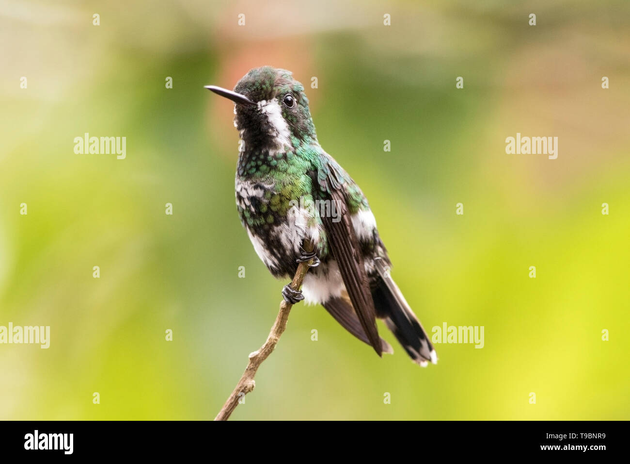 Green Thorntail, adult female perched on branch, La Paz waterfall gardens, Costa Rica 24 March 2019 - Stock Image