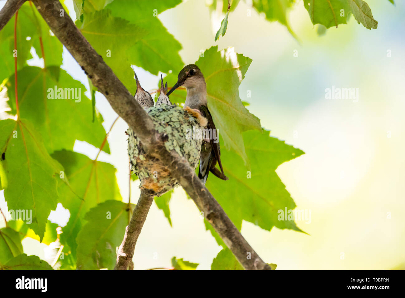 Mother hummingbird feeding two babies in her nest. - Stock Image