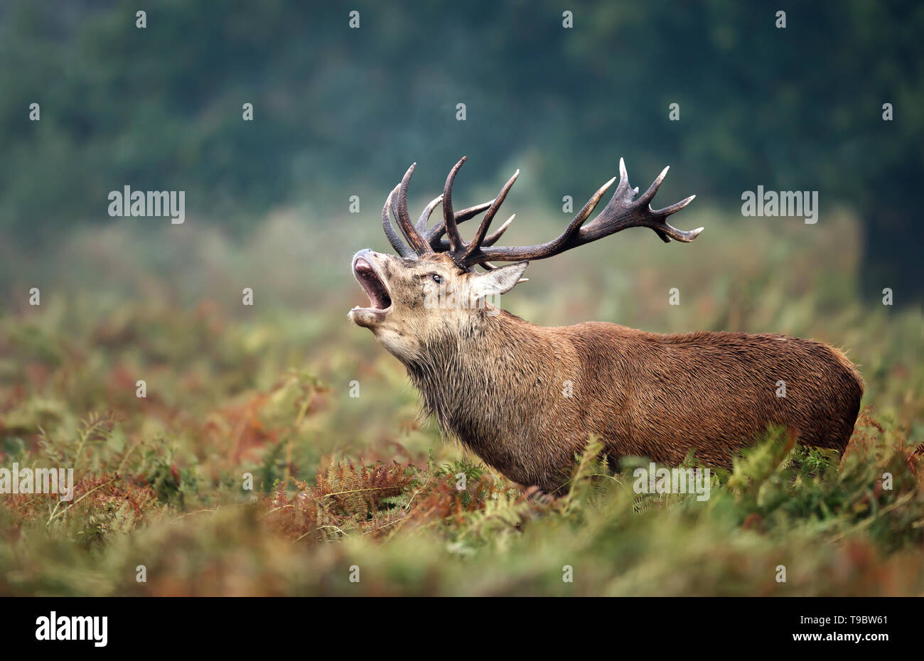 Close-up of a red deer stag calling during rutting season in autumn, UK. - Stock Image