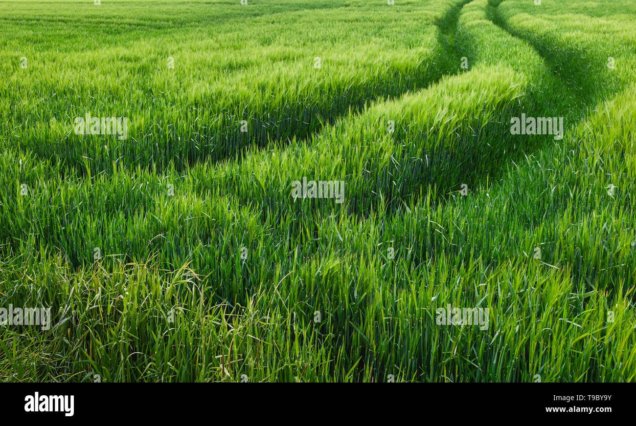 Field of wheat in the midst of English countryside on a fine spring morning, Beverley, Yorkshire, UK. - Stock Image