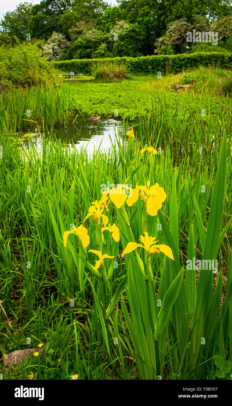 Yellow Flag Iris by a pond May 2019 Stock Photo