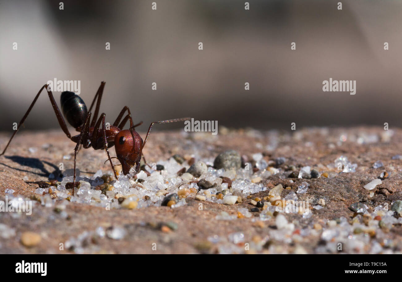 Ant sitting on a Stone and eats. Sharp and detailed macro Portrait of ant - Stock Image
