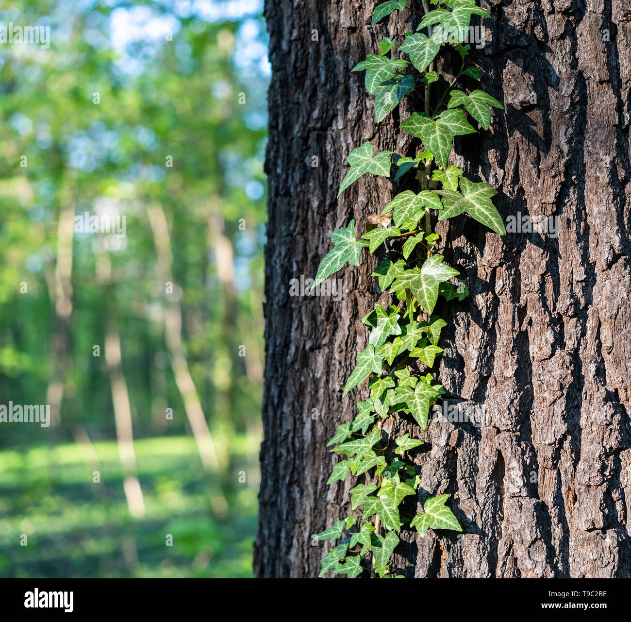 Ivy hedera helix on a horse chestnut aesculus hippocastanum, also known as conker. The background shows blurred trees on a sunny day. - Stock Image