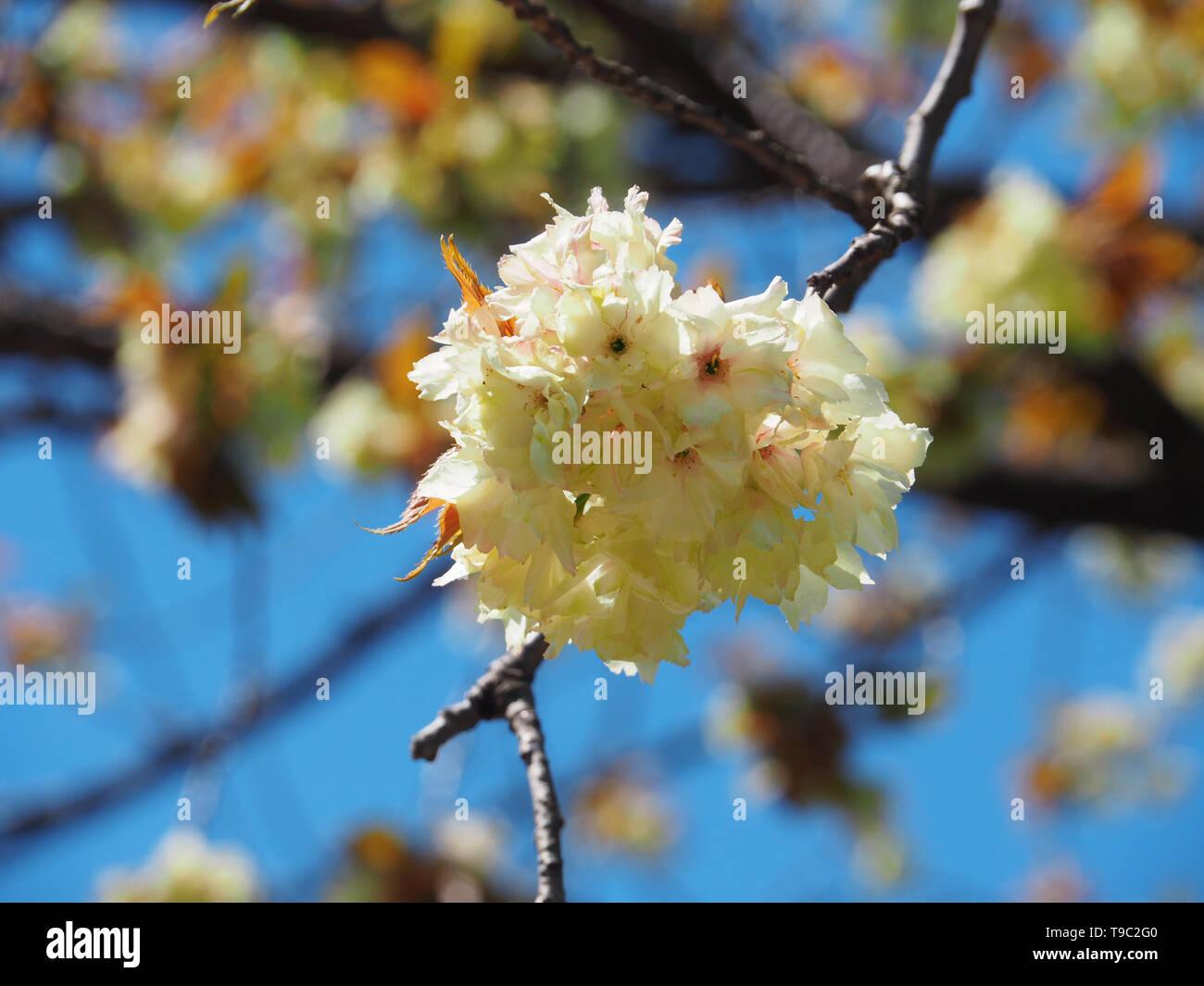 "Gelbe ""Ukon"" Kirsche in Tokio Japan Stock Photo"