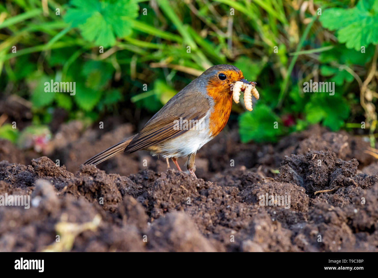 Robin with worms in beak - Stock Image