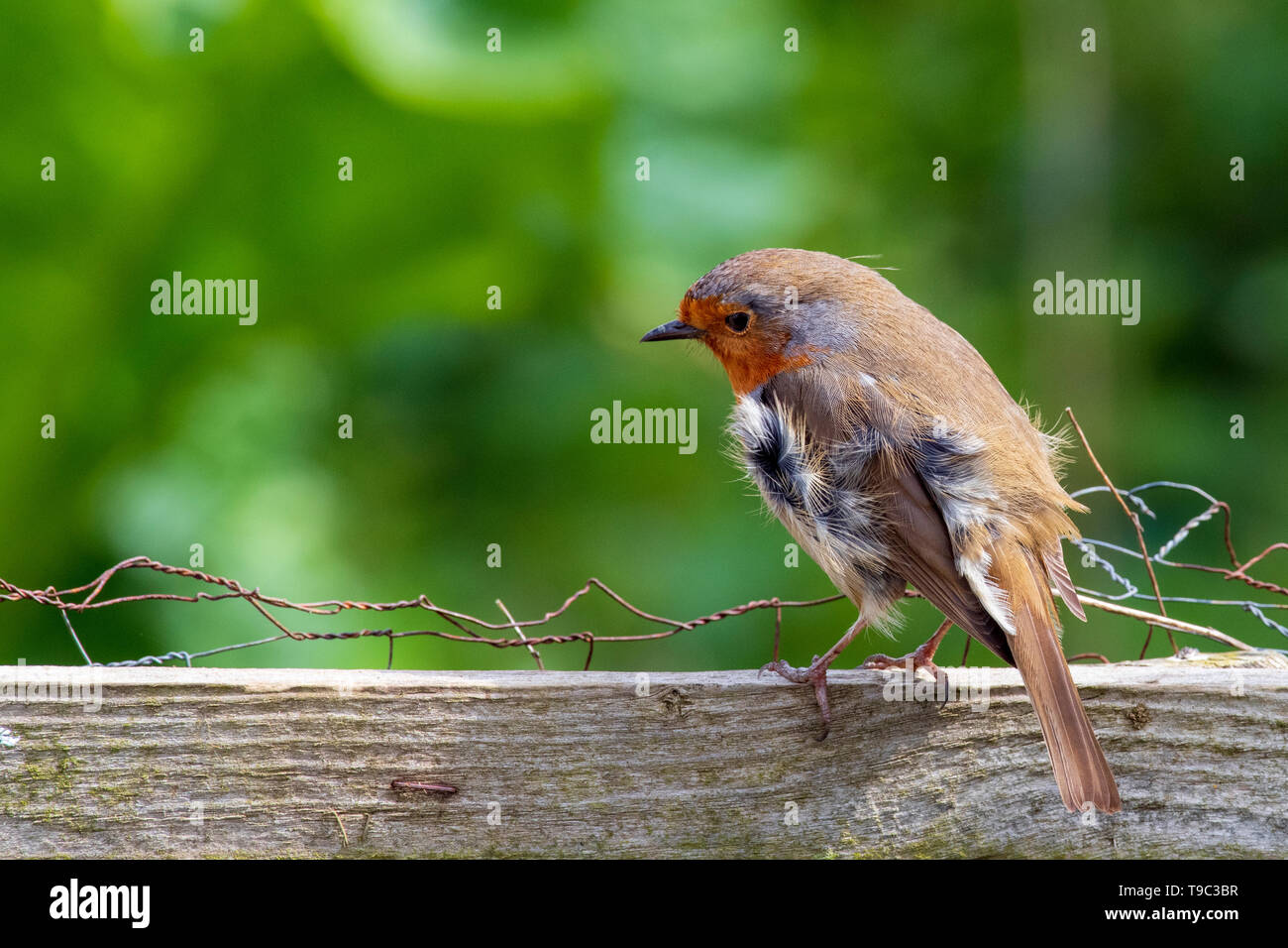 Robin standing on fence in the wind - Stock Image