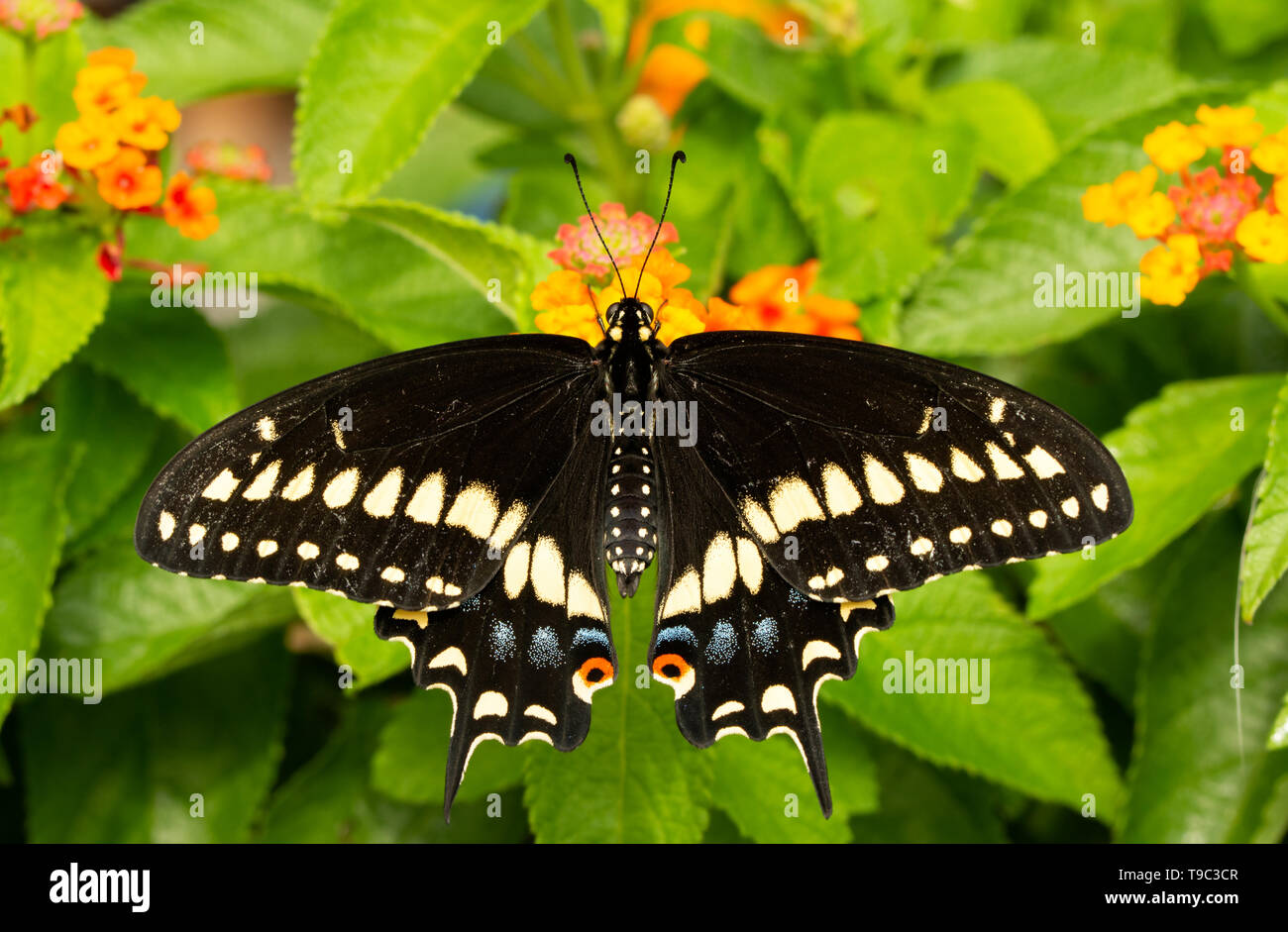 Dorsal view of a Eastern Black Swallowtail butterfly feeding on a Lantana flower - Stock Image