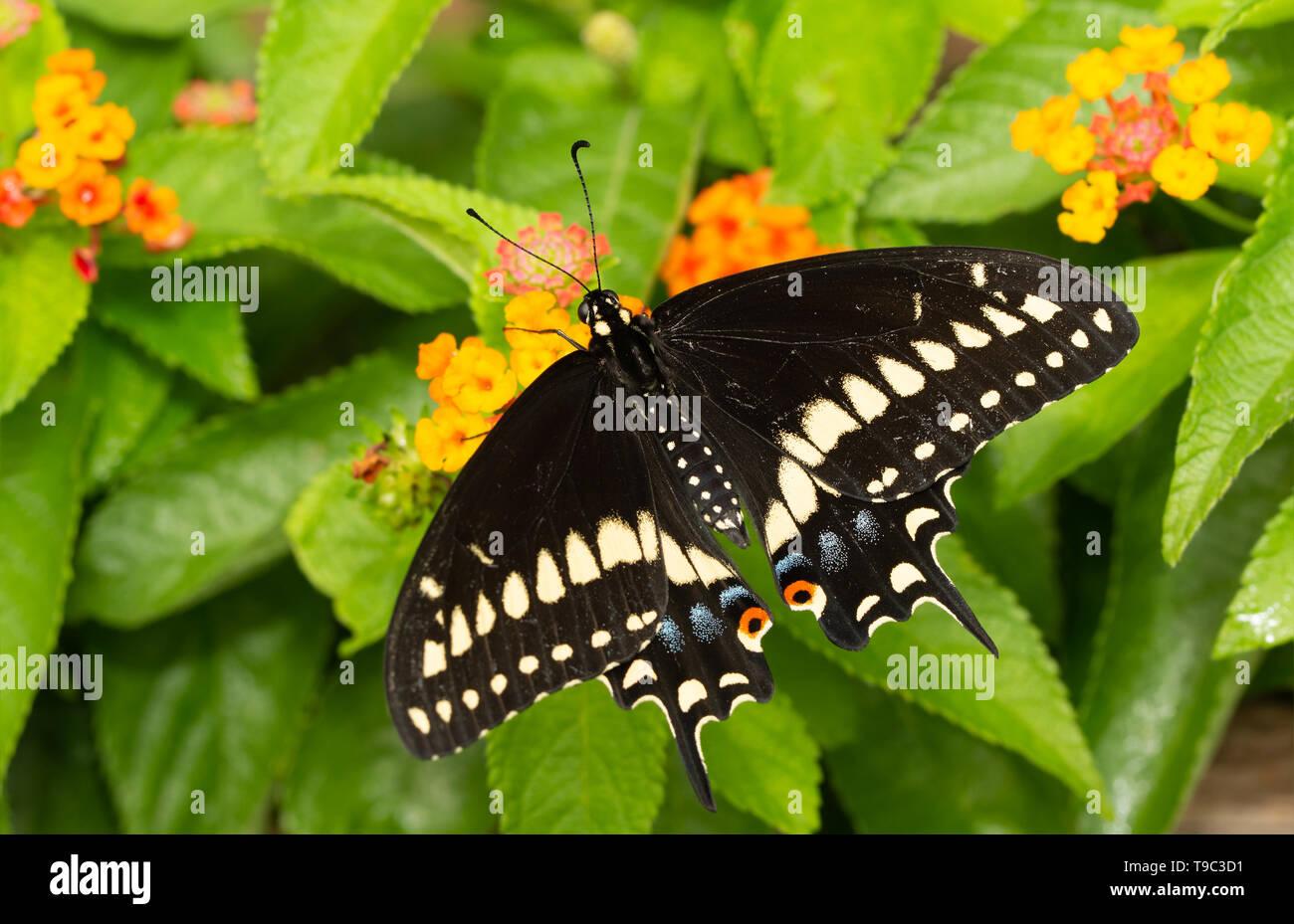 Male Eastern Black Swallowtail butterfly feeding on Lantana flowers - Stock Image