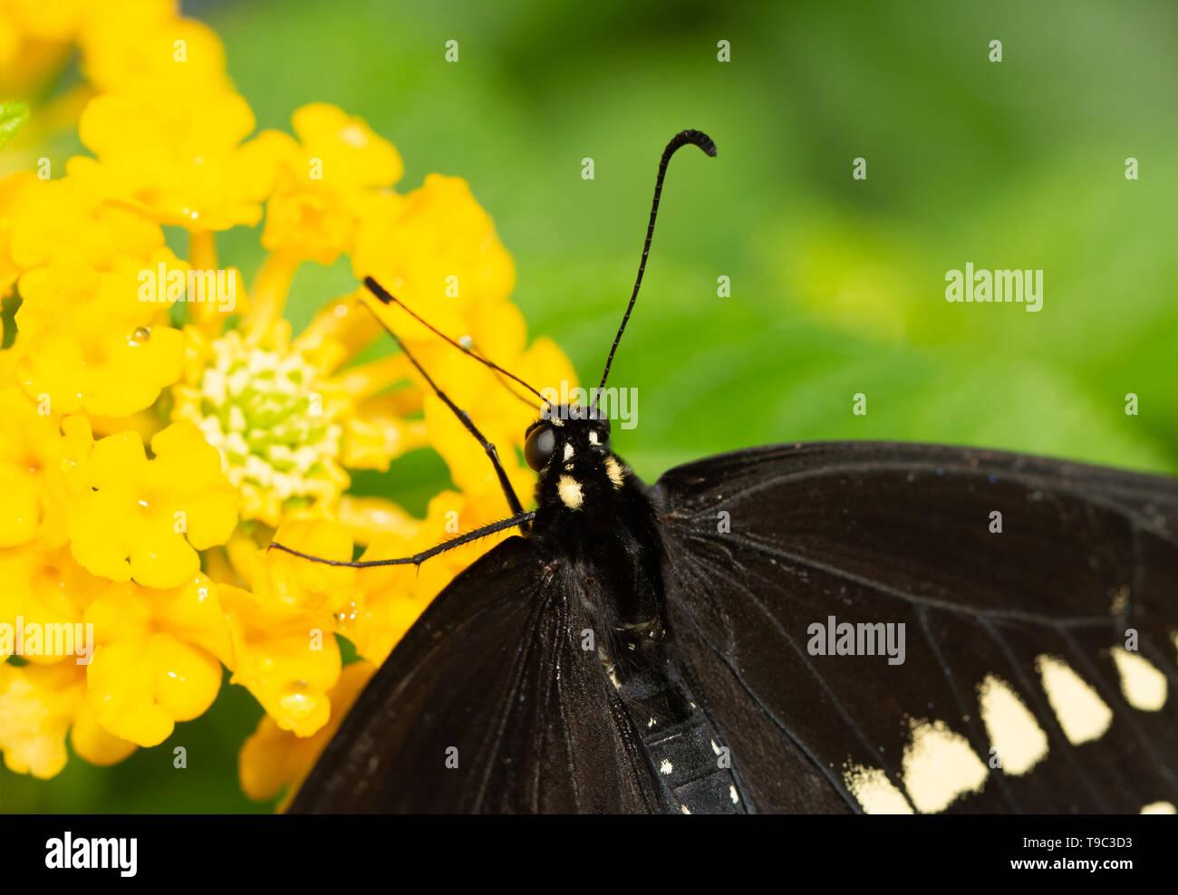 Closeup of a Black Swallowtail on a yellow Lantana flower - Stock Image