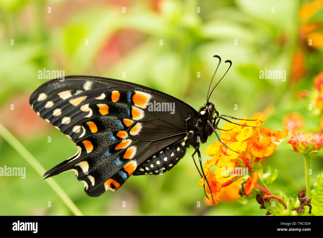 Eastern Black Swallowtail butterfly feeding on a yellow and orange lantana flower in summer garden, ventral view - Stock Image