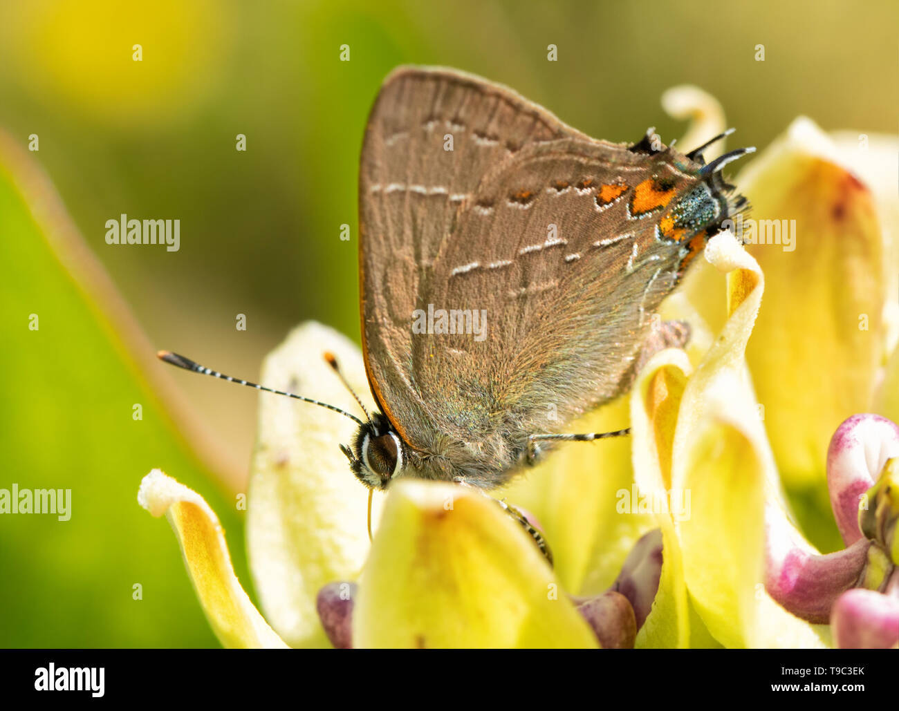 Tiny Northern Southern Hairstreak butterfly feeding on a milkweed flower in spring - Stock Image