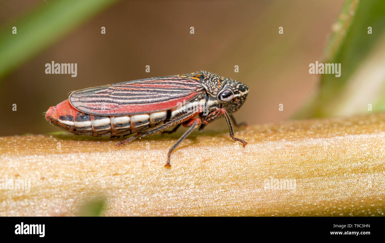 Cuerna costalis, Sharpshooter Leafhopper on milkweed stem Stock Photo