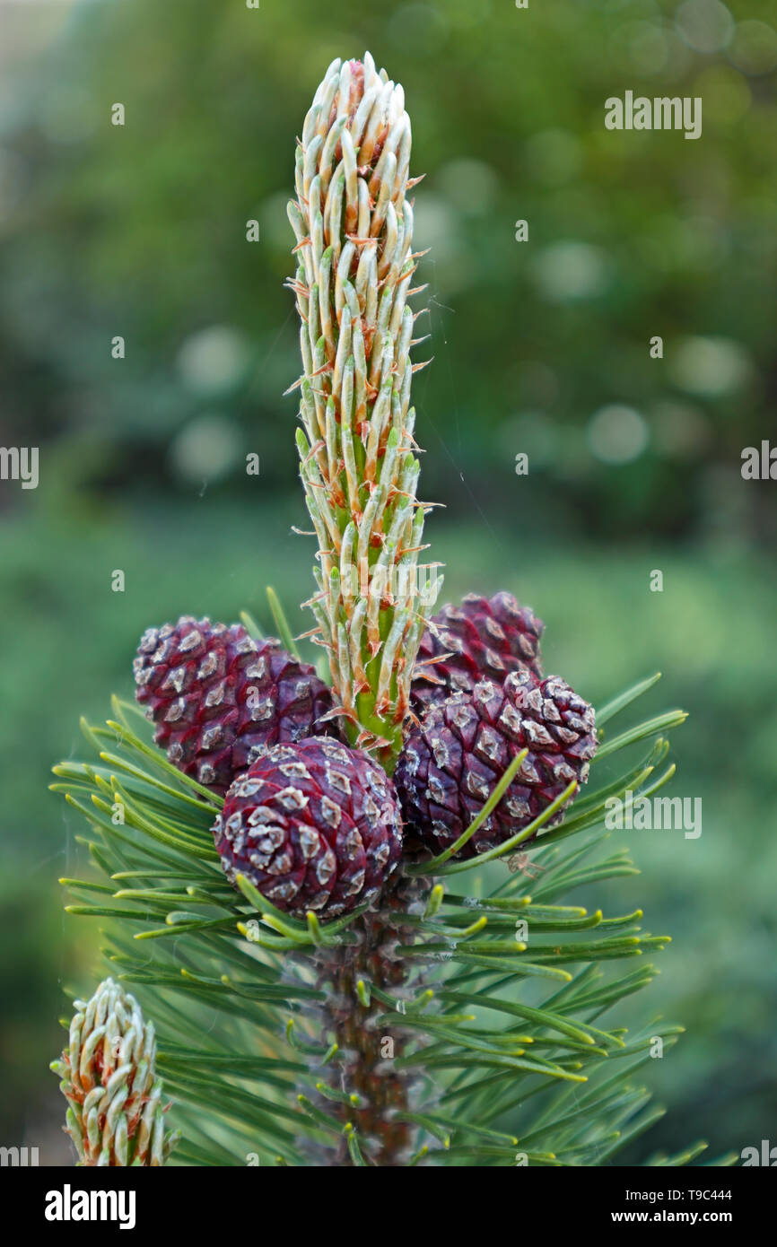Mugo Pine Cones in Spring - pinus mugo - P. mugo - Stock Image