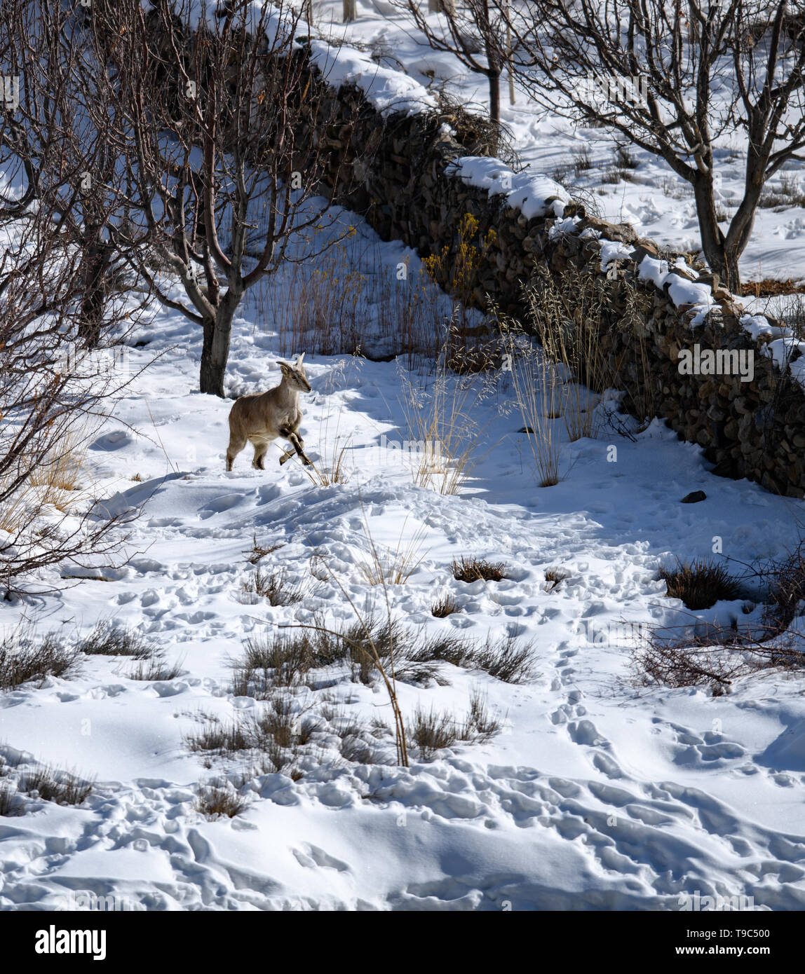 Himalayan Blue Sheep (Pseudois nayaur) also known Bharal or Naur standing and searching food on ice covered Himalayan snow mountain in winter time, - Stock Image