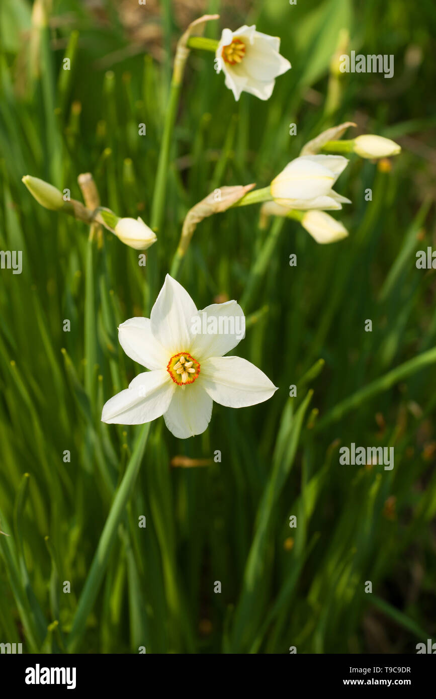 Narcissus flowers on a sunny May day - Stock Image