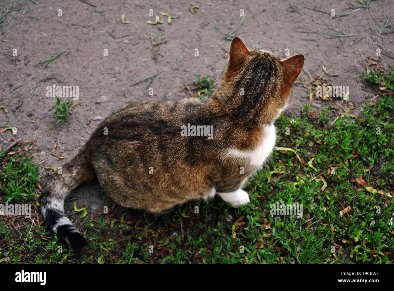 White and brown spotted Cyprus cat breed sitting turned away, back, top view Stock Photo
