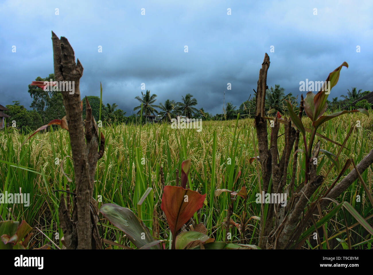 Rice Paddy with Clouds at Campuhan Ridge Walk in Ubud, Bali, Indonesia - Stock Image