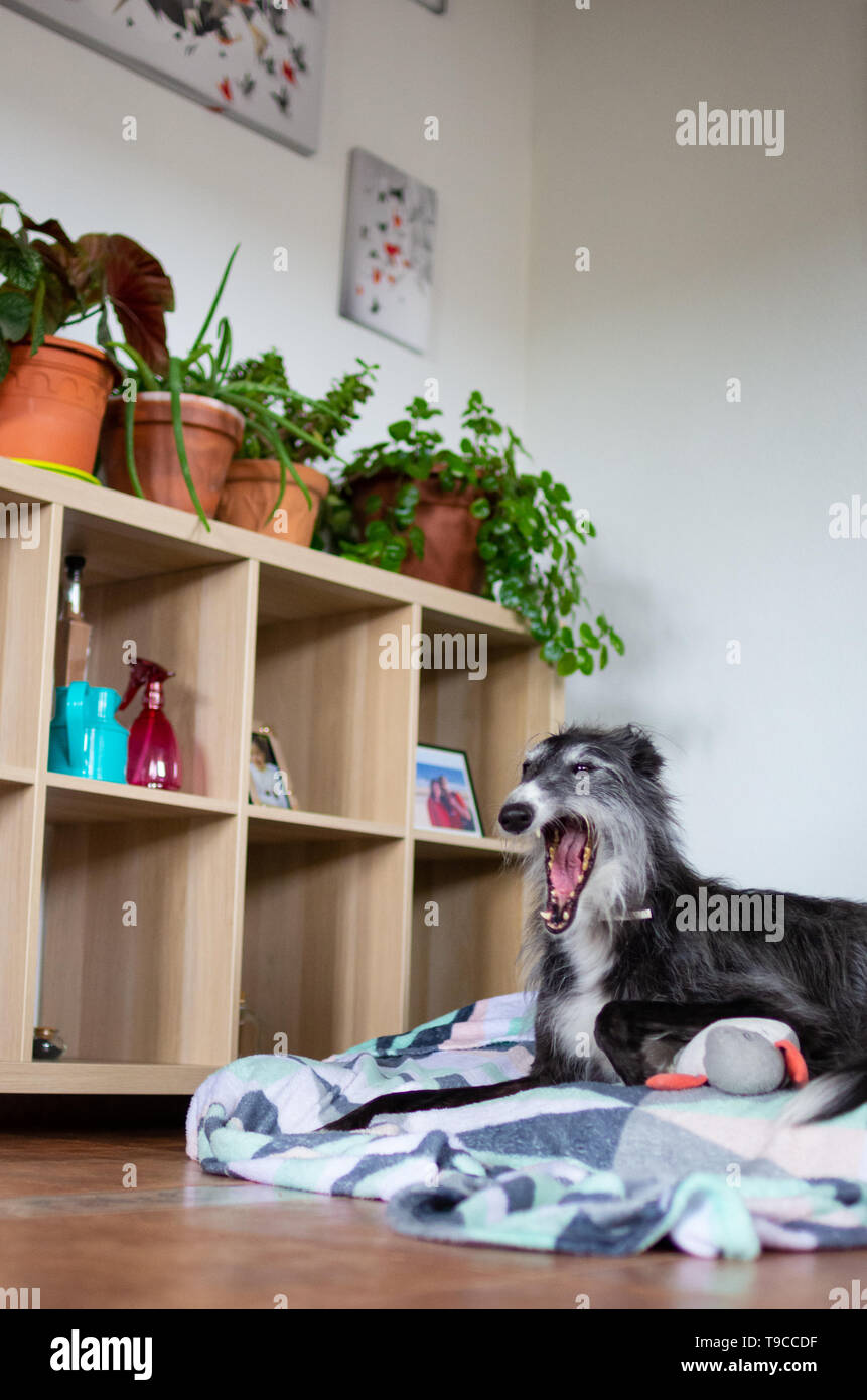 Dog yawning inside a house lying in a dog bed - Stock Image