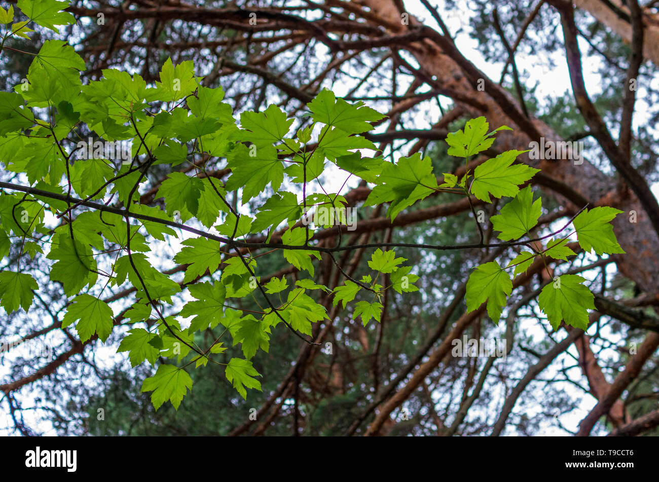 Maple branch seen from below in spring - Stock Image