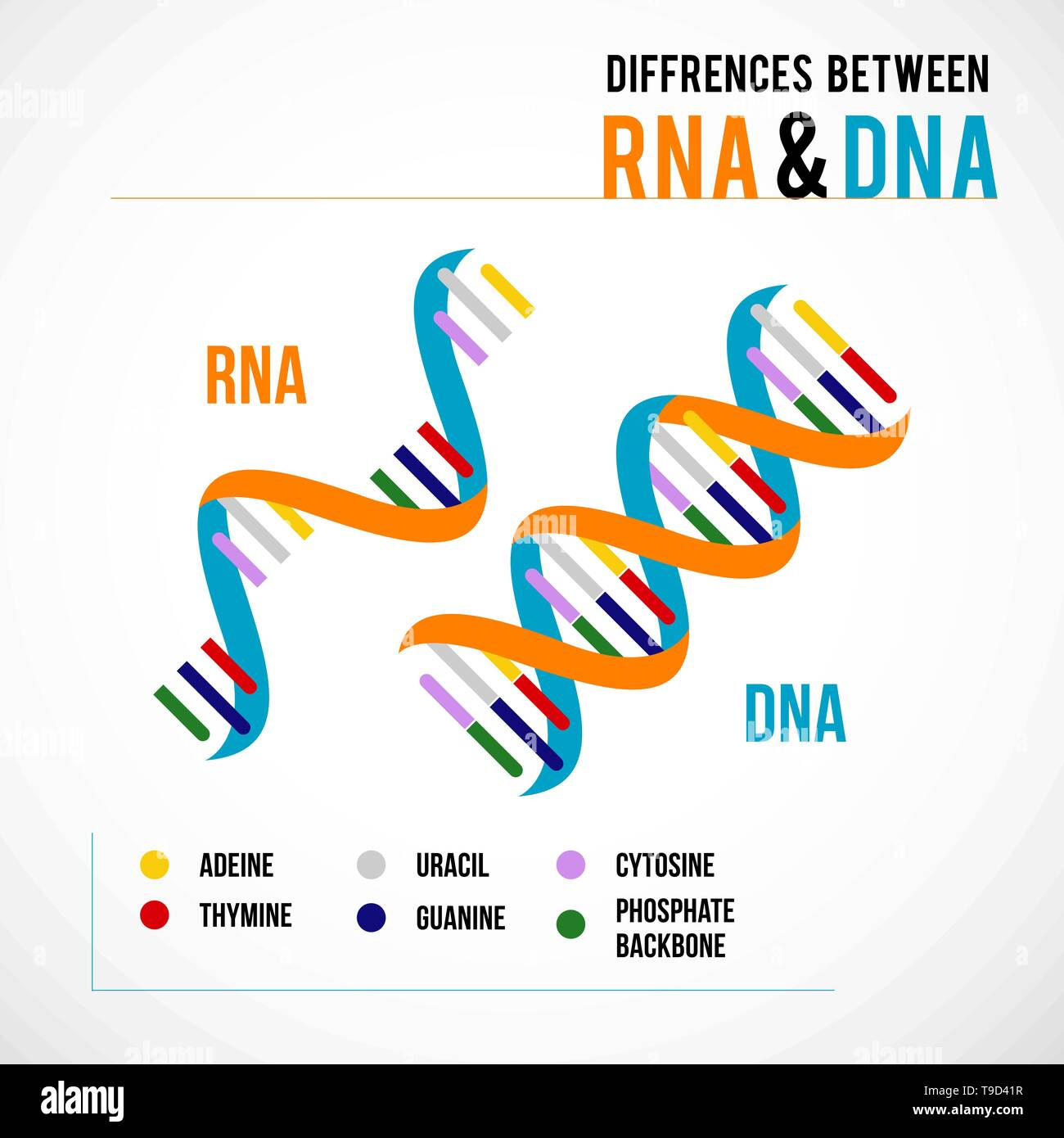 Differences between dna and rna. Vector scientific icon spiral of DNA and RNA.  An illustration of the differences in the structure of the DNA and RNA - Stock Image