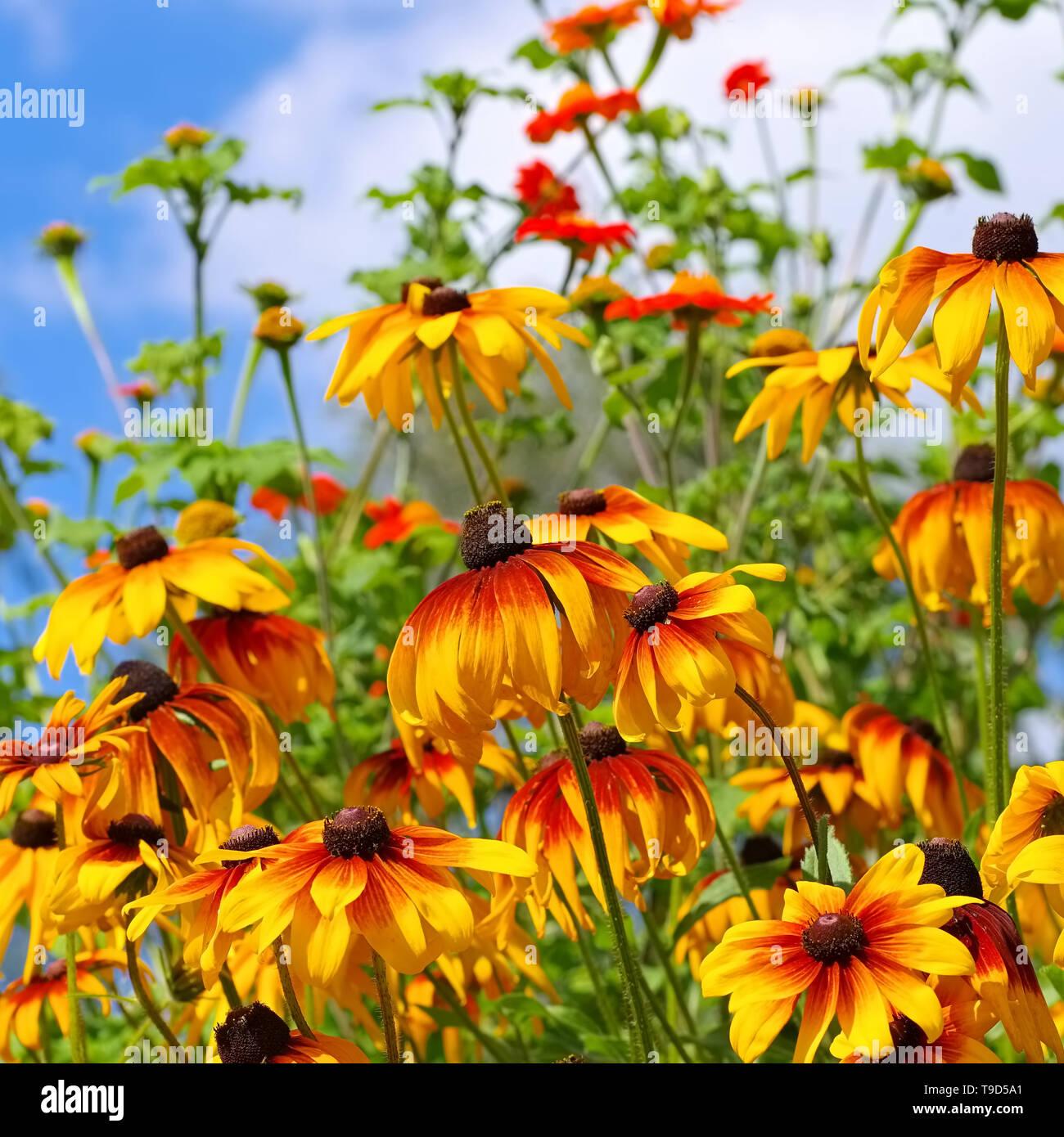Sonnenhut - black-eyed Susan flower in summer garden - Stock Image