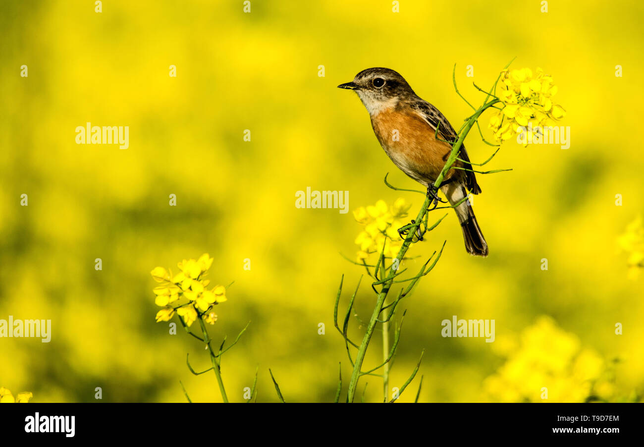 The Siberian stonechat or Asian stonechat (Saxicola maurus) is a recently validated species of the Old World flycatcher family (Muscicapidae). Stock Photo