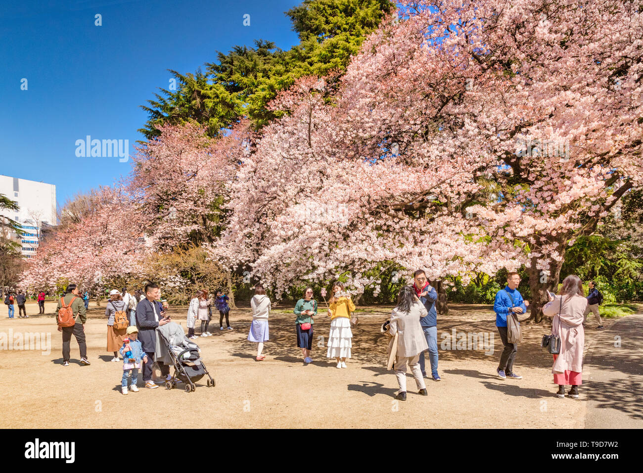 4 April 2019: Tokyo, Japan - Cherry Blossom in Shinjuku Gyoen Park in spring, with visitors taking photos and selfies. Stock Photo