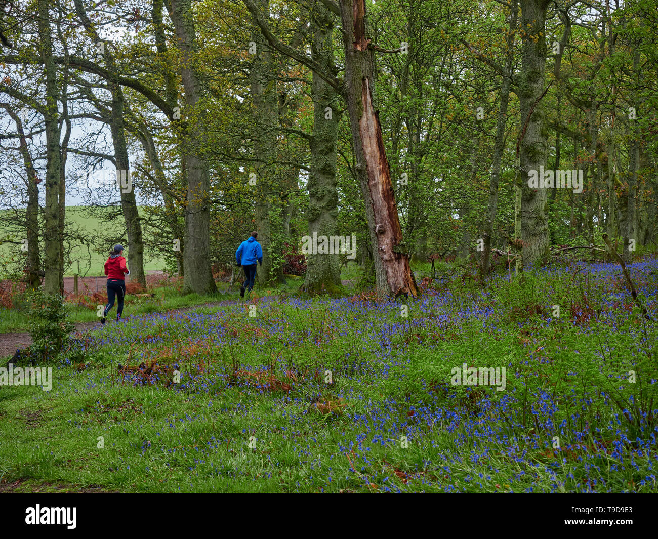 A Young Man and Woman running on a path through Darroch Woods, surrounded by Wild Bluebells. Perthshire, Scotland - Stock Image