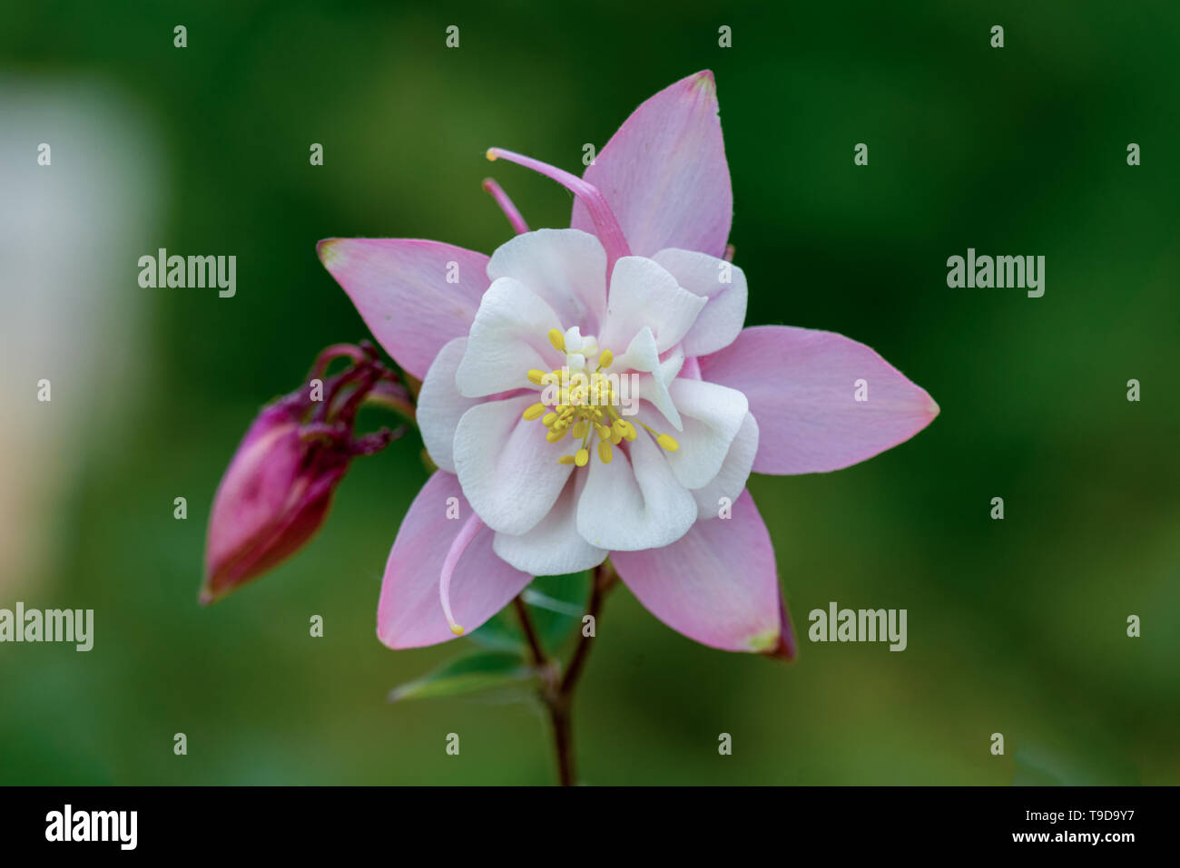 Aquilegia Origami White (Power-Module) | J Parker Dutch Bulbs | 957x1300