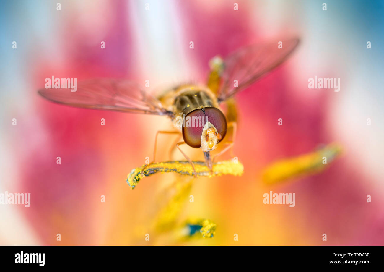 Marmalade hoverfly - Episyrphus balteatus in a day lily blossom, Hemerocallis - Stock Image