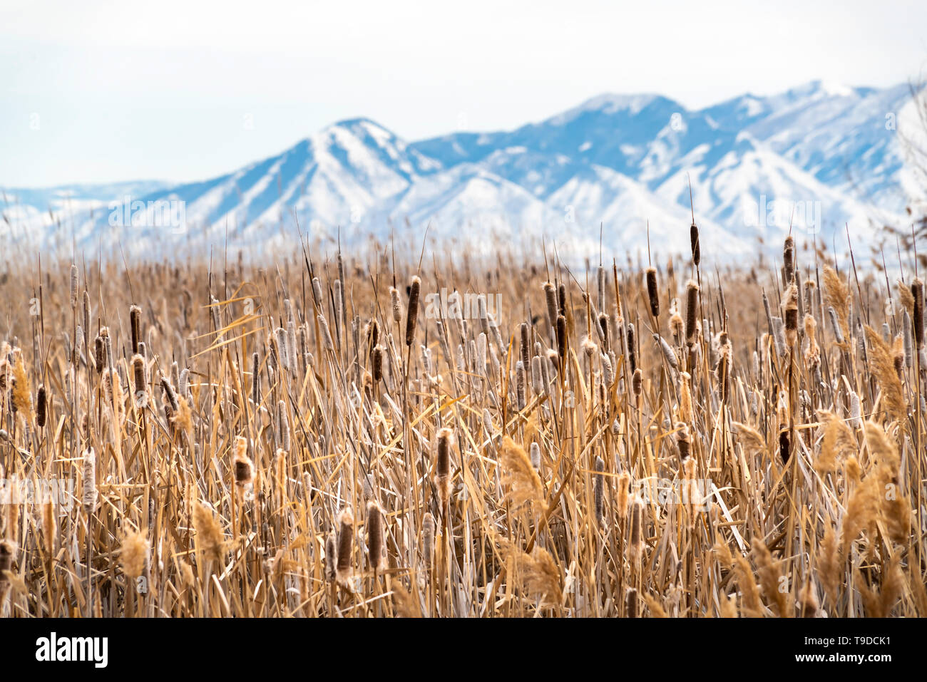 Tall brown grasses on a vast terrain viewed on a sunny winter day - Stock Image