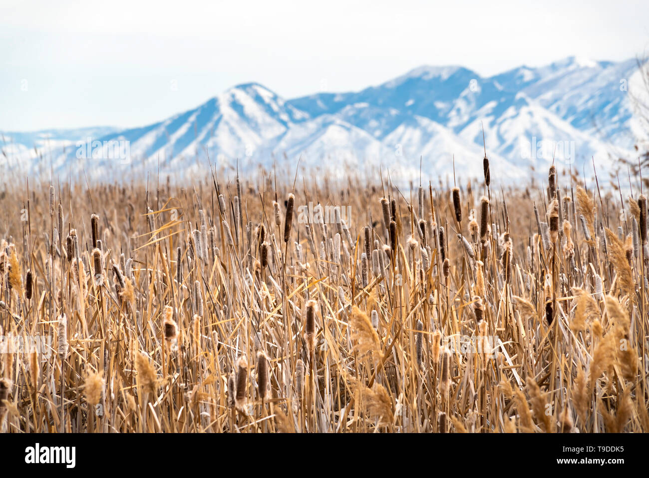 Tall brown grasses on a vast terrain viewed on a sunny winter day. An amazing snow covered mountain against bright sky can be seen in the background. - Stock Image