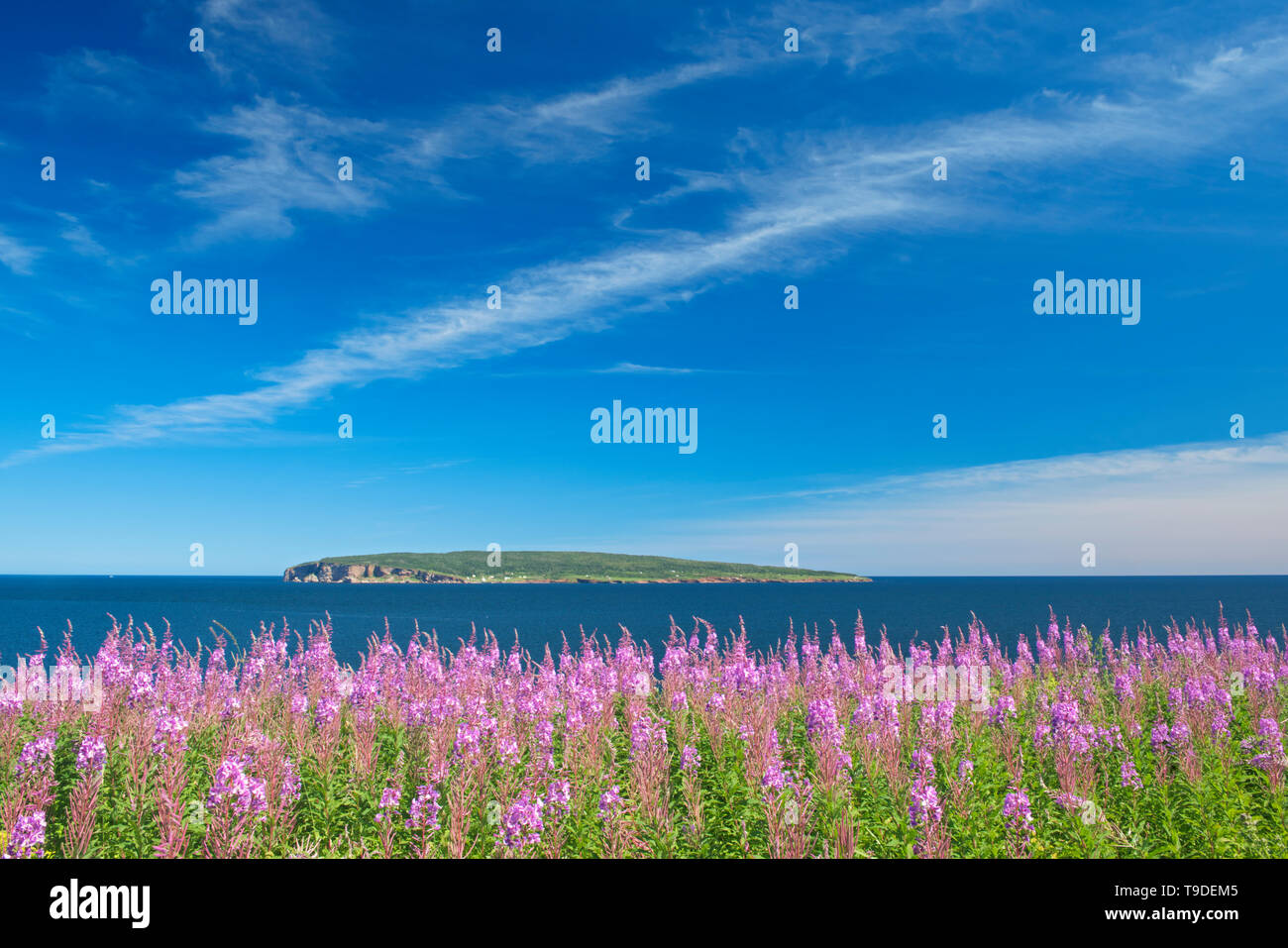 Fireweed wildflowers and Bonaventure Island in the Atlantic Ocean at the end of the Gaspe Peninsula. Parc national de l'Île-Bonaventure-et-du-Rocher-Percé. This is a provincial parc, not a true federal park, Percé, Quebec, Canada - Stock Image