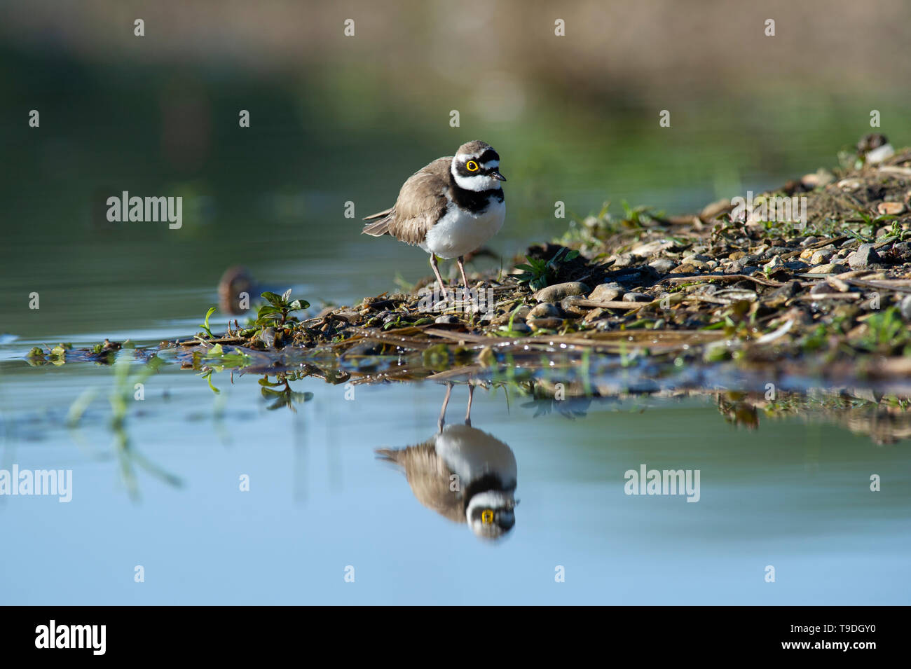 A Little Ringed Plover (Charadrius dubius) reflected in the water at Tophill Low Nature Reserve, East Yorkshire Stock Photo