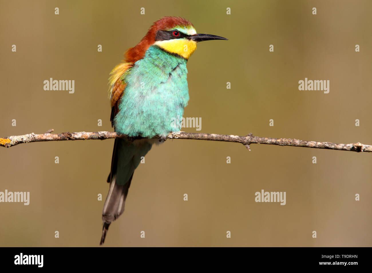 Merops apiaster Stock Photo