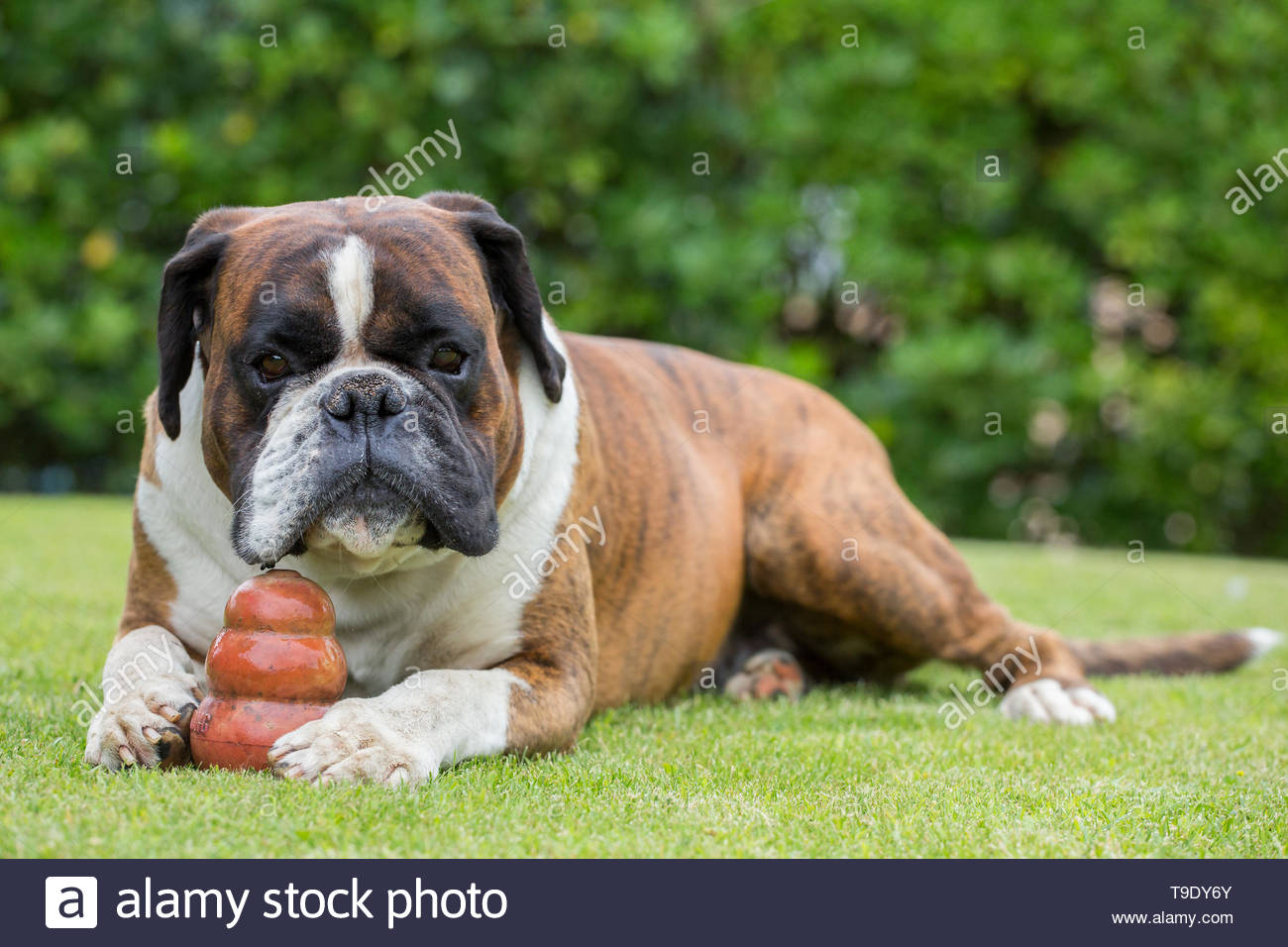 Boxer dog sitting on a green field, Italy - Stock Image