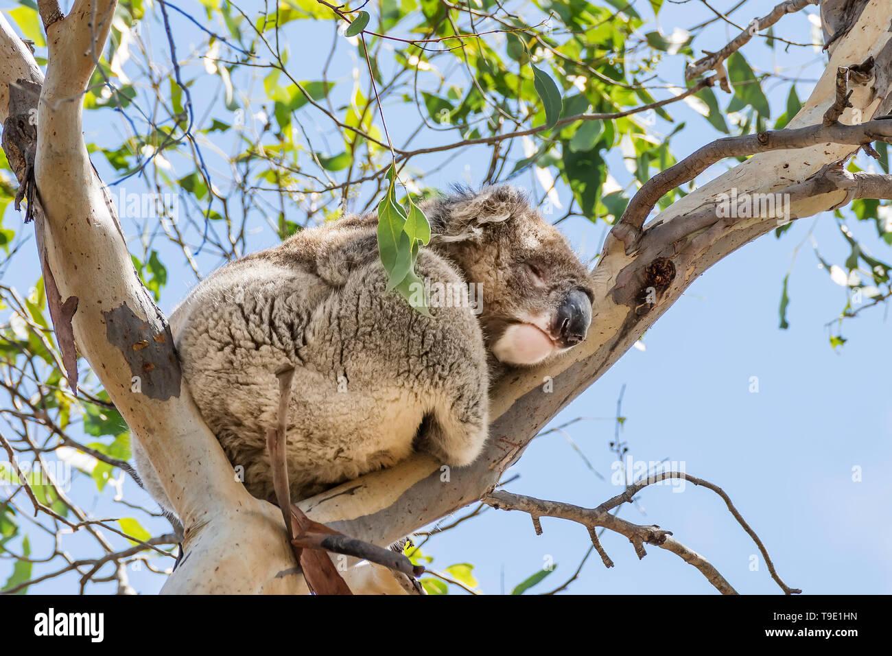 Beautiful koala in wild life sleeping leaning against a high eucalyptus branch against the blue sky, Kangaroo Island, Southern Australia Stock Photo